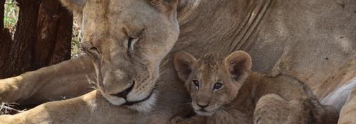 Kingspan_Born Free Foundation_Partnership_Lioness&Cub