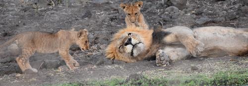 Kingspan_Born Free Foundation_Partnership_Mfalme and cubs