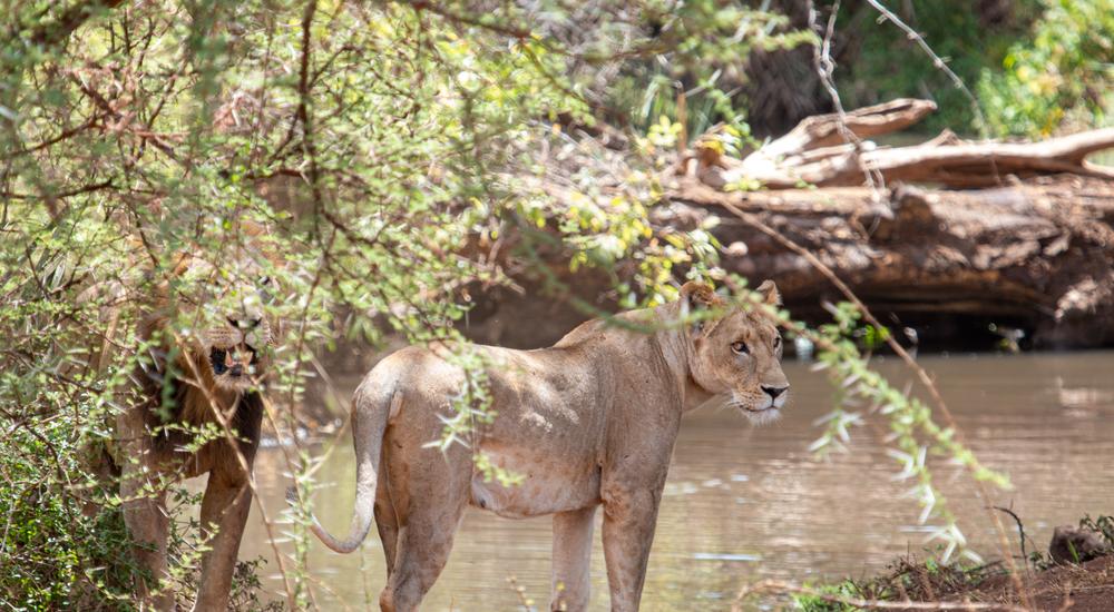 Kingspan_Born Free Foundation_Partnership_Lion monitoring