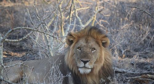 Kingspan_Born Free Foundation_Partnership_Lion