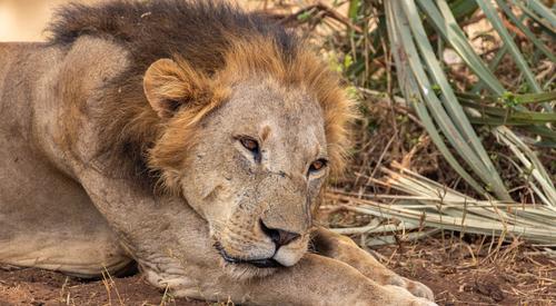 Kingspan_Born Free Foundation_Partnership_Lions in Meru1