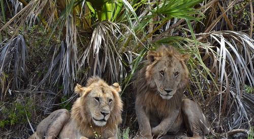 Kingspan_Born Free Foundation_Partnership_LionsSolio&Magerete